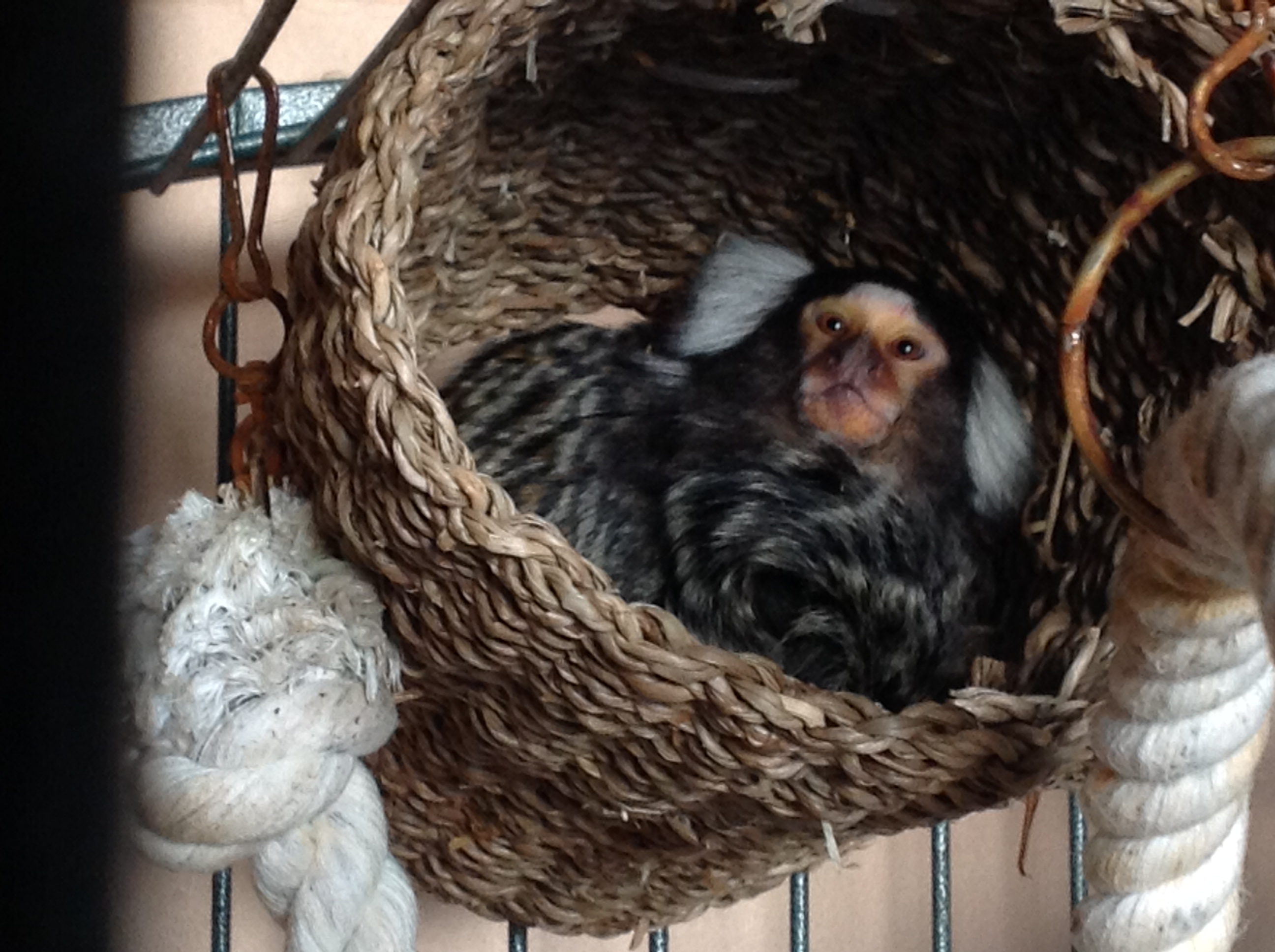 Pet Marmoset